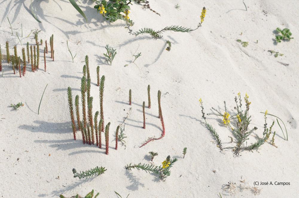 A Herba leiteira emerxe de entre a area nas dunas das illas Cíes