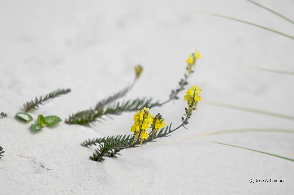 Paxariños amarelos decorando as dunas de Muxieiro nas illas Cíes