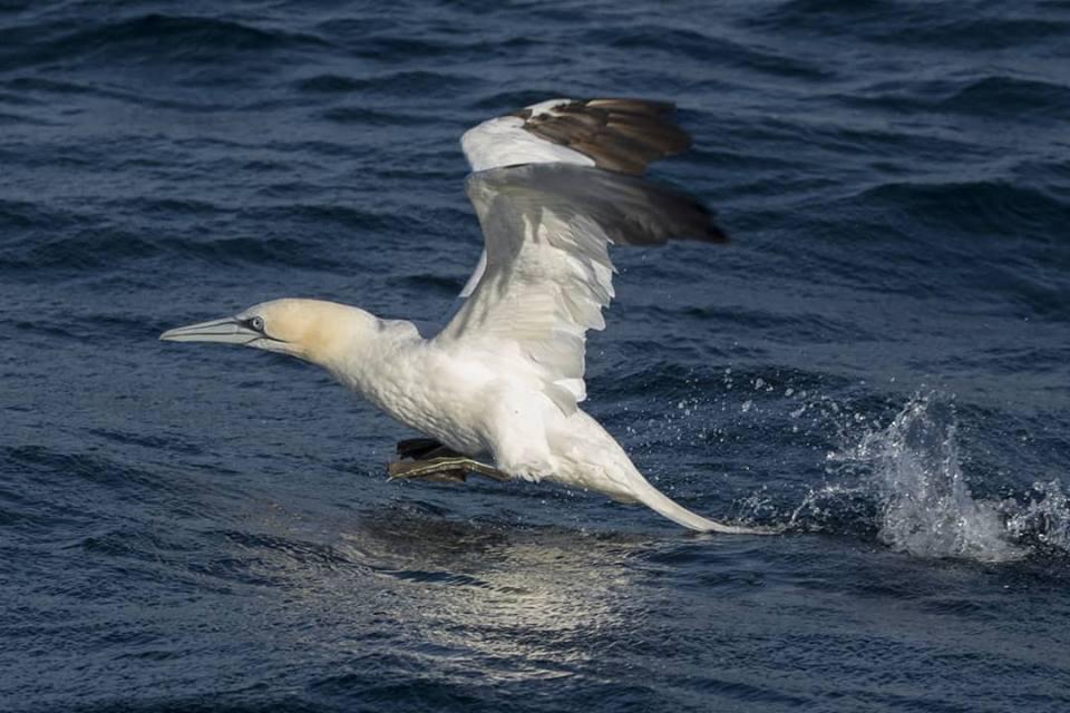 Mascato europeo por Mar de Aves