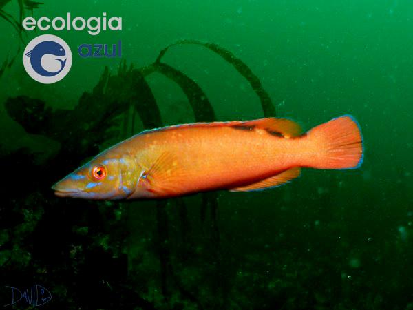 Os peixes máis coloridos de Galicia por Ecoloxía Azul