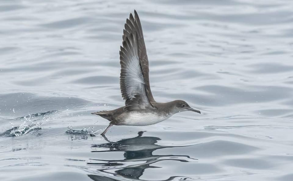 Pardelas (II). La pardela balear por Mar de Aves