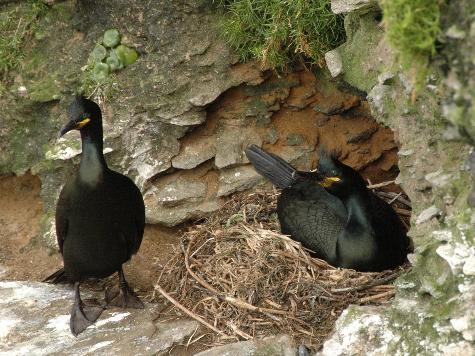 O Parque Nacional incorpora dous novos exemplares ao seu proxecto de seguimento remoto do corvo mariño