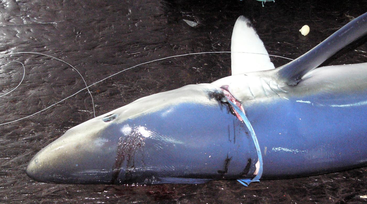 Plásticos e depredadores mariños por Ecoloxía Azul