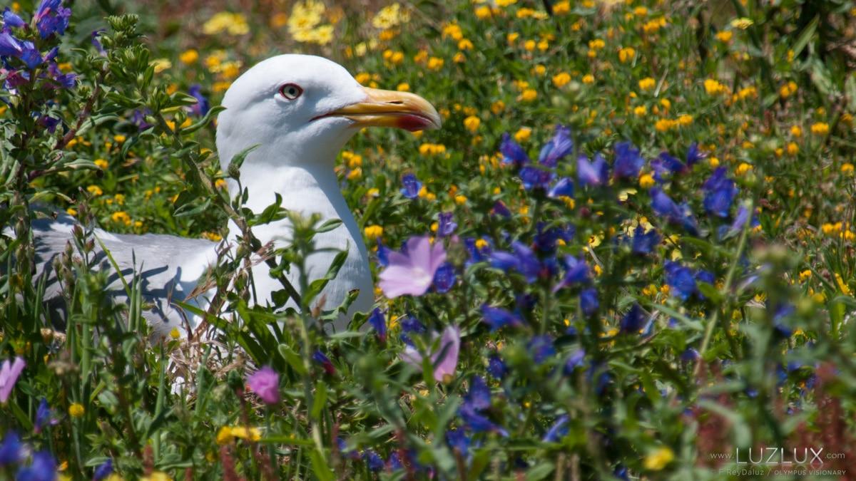 Unha gaivota patiamarela entre cores de primavera