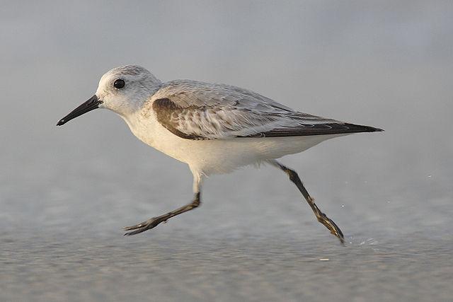 Iniciación ás aves limícolas con Alados Medioambiente