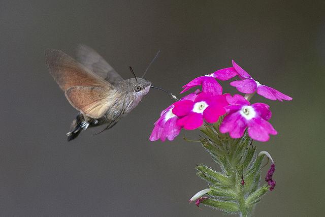 Esfinge colibrí o avelaíña