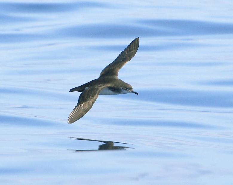 Pardelas (III). A pardela furabuchos por Mar de Aves