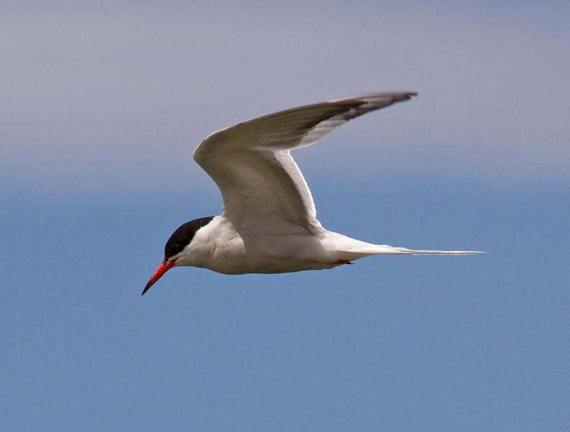 Carráns (I). O carrán común por Mar de Aves