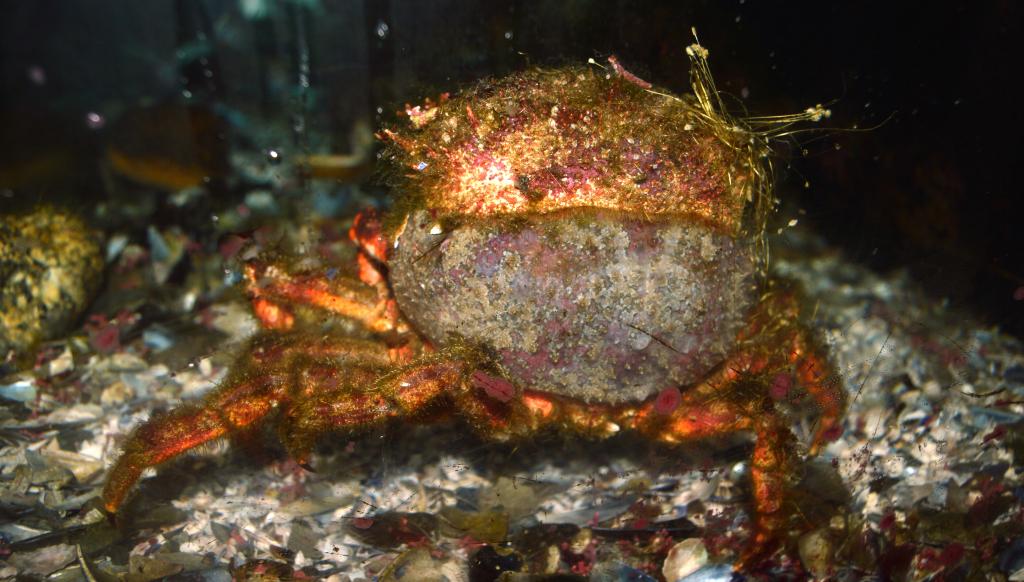 Crecemento e muda en crustáceos por Ecoloxía Azul