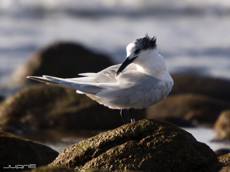 Carráns (II). O carrán cristado por Mar de Aves