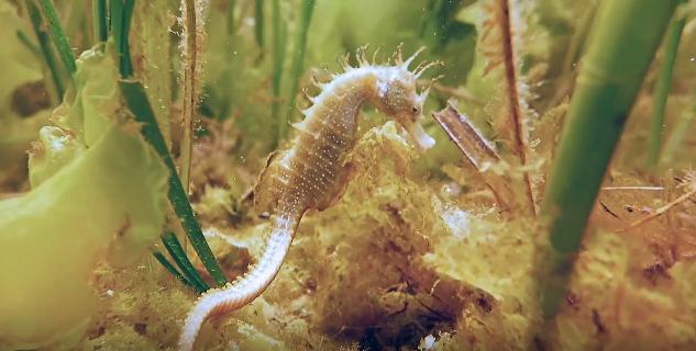 As praderías submarinas de ceba en Sálvora revelan un patrimonio oculto