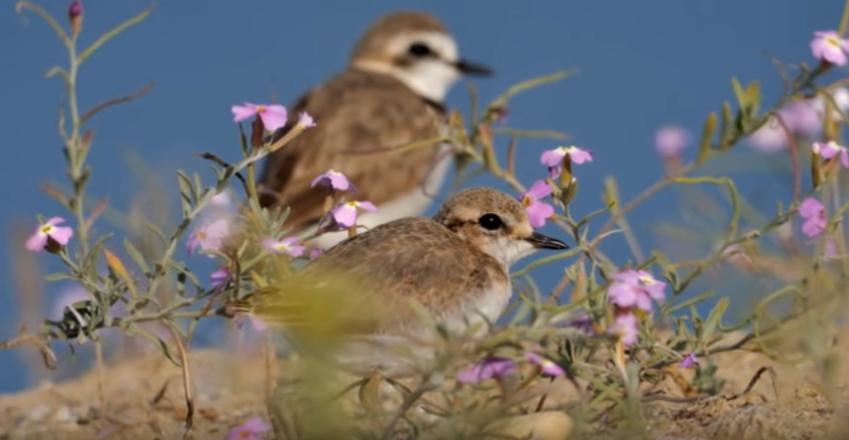 Protección e seguimento durante a nidificación da píllara das dunas nun areal da ría de Vigo