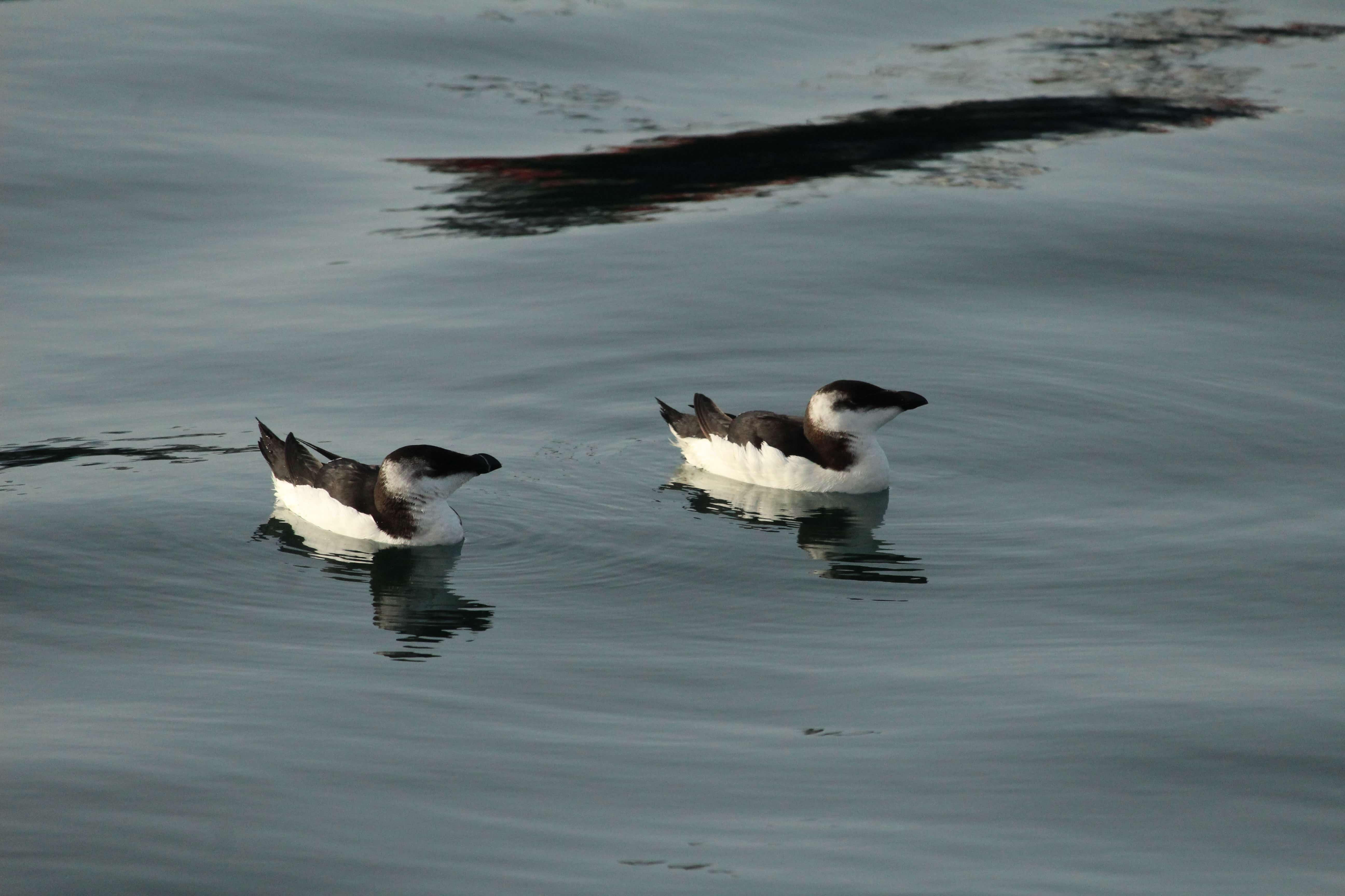 Aros (I). O Aro carolo en Mar de Aves