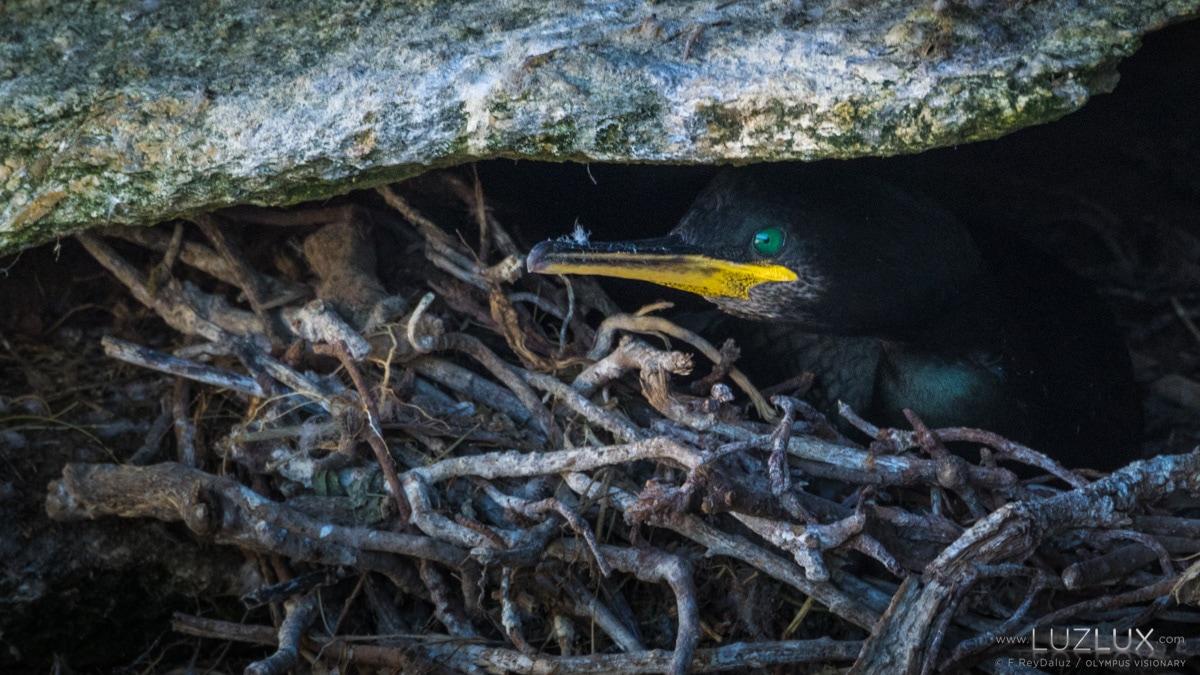 Corvo mariño cristado descansando no seu niño, dentro dunha fenda