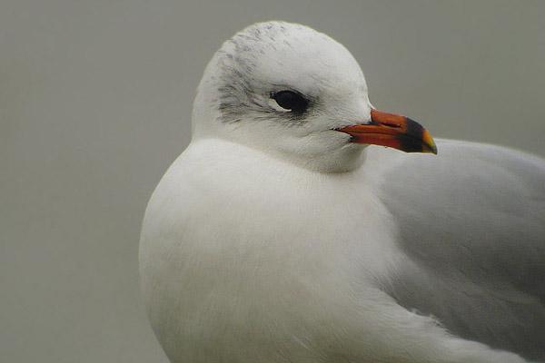 Gaivotas (II). A gaivota de cabeza negra por Mar de Aves