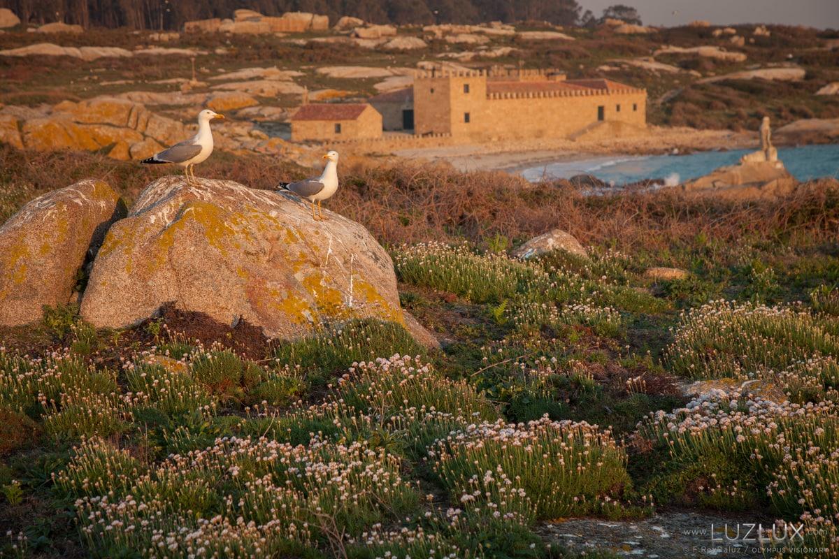 A herba de namorar tapiza e colorea a illa de Sálvora