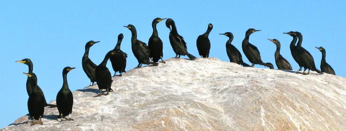 Mar de aves: novo sitio web das aves mariñas do Parque Nacional e Rías Baixas