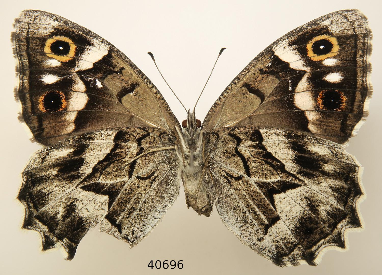 Hipparchia fidia, nova especie para o Parque Nacional das Illas Atlánticas