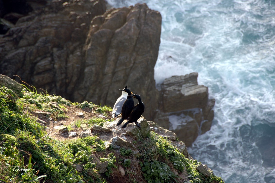 Parella de corvo mariño cristado ou ghalo de mar en época nupcial