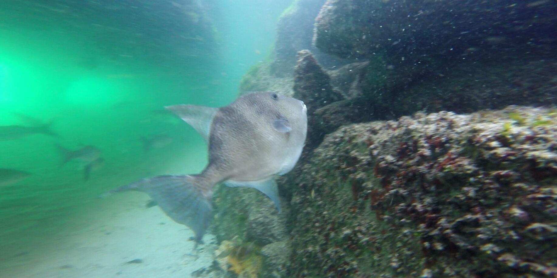 Un peixe porco en Rodas