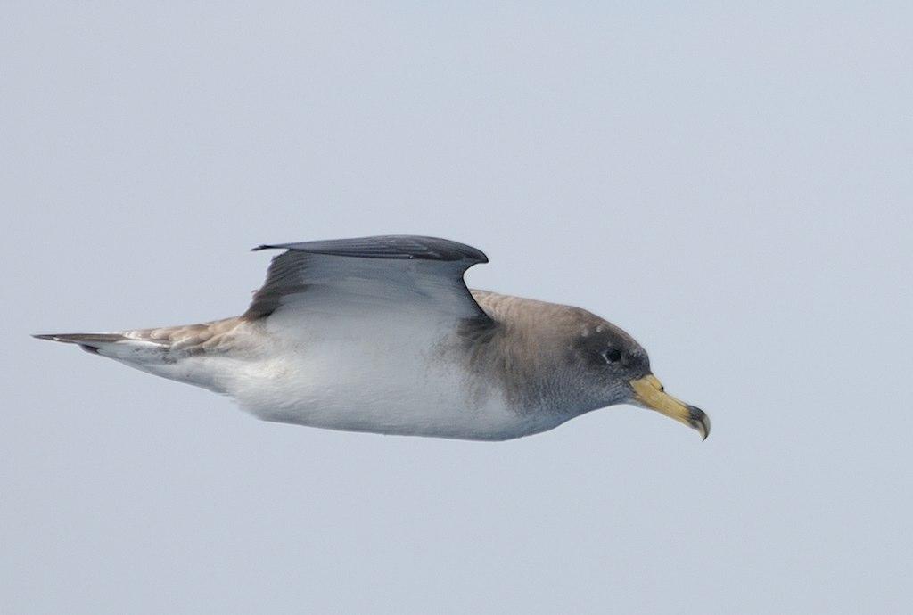 Imaxe dunha pardela cincenta
