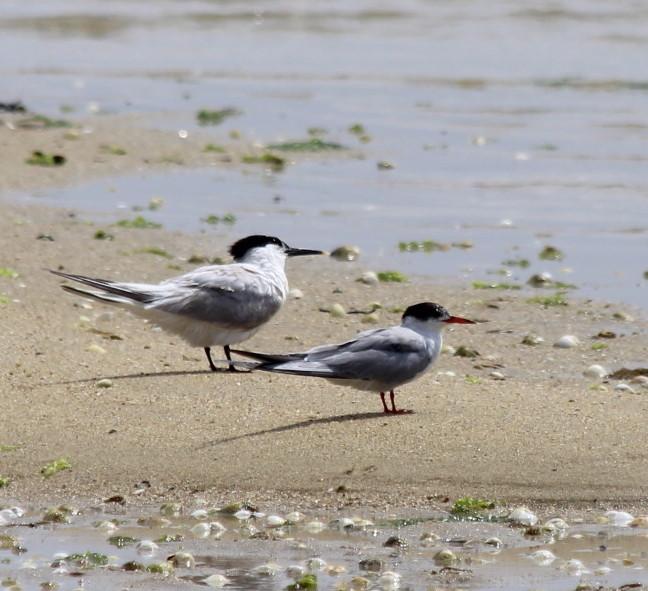 Introdución ás aves mariñas. Que é unha ave mariña?. Mar de Aves