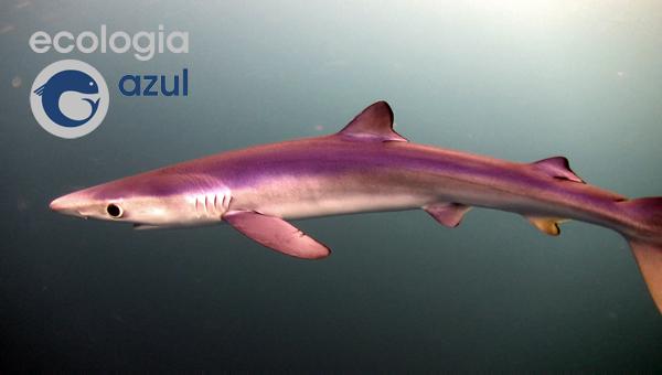 Quenllas azuis, tintoreras, tiburóns na costa galega