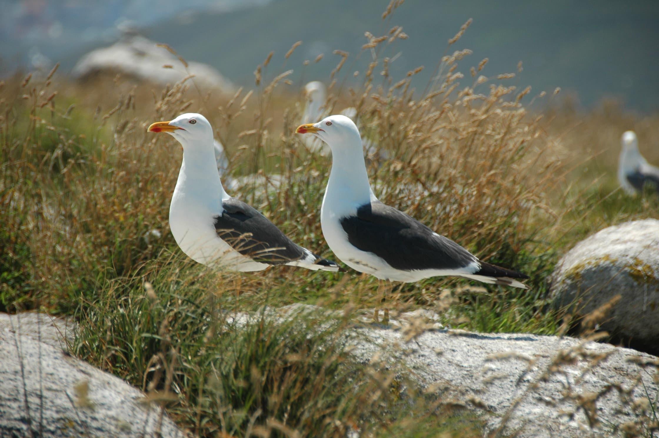 Gaivotas (III). A gaivota escura por Mar de Aves