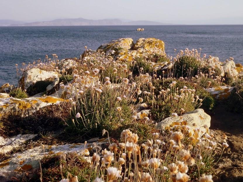 A herba de namorar adorna o Parque Nacional das Illas Atlánticas de Galicia