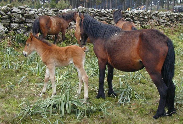 O proxecto para a conservación do cabalo galego do monte da EE Forestal suma novos socios