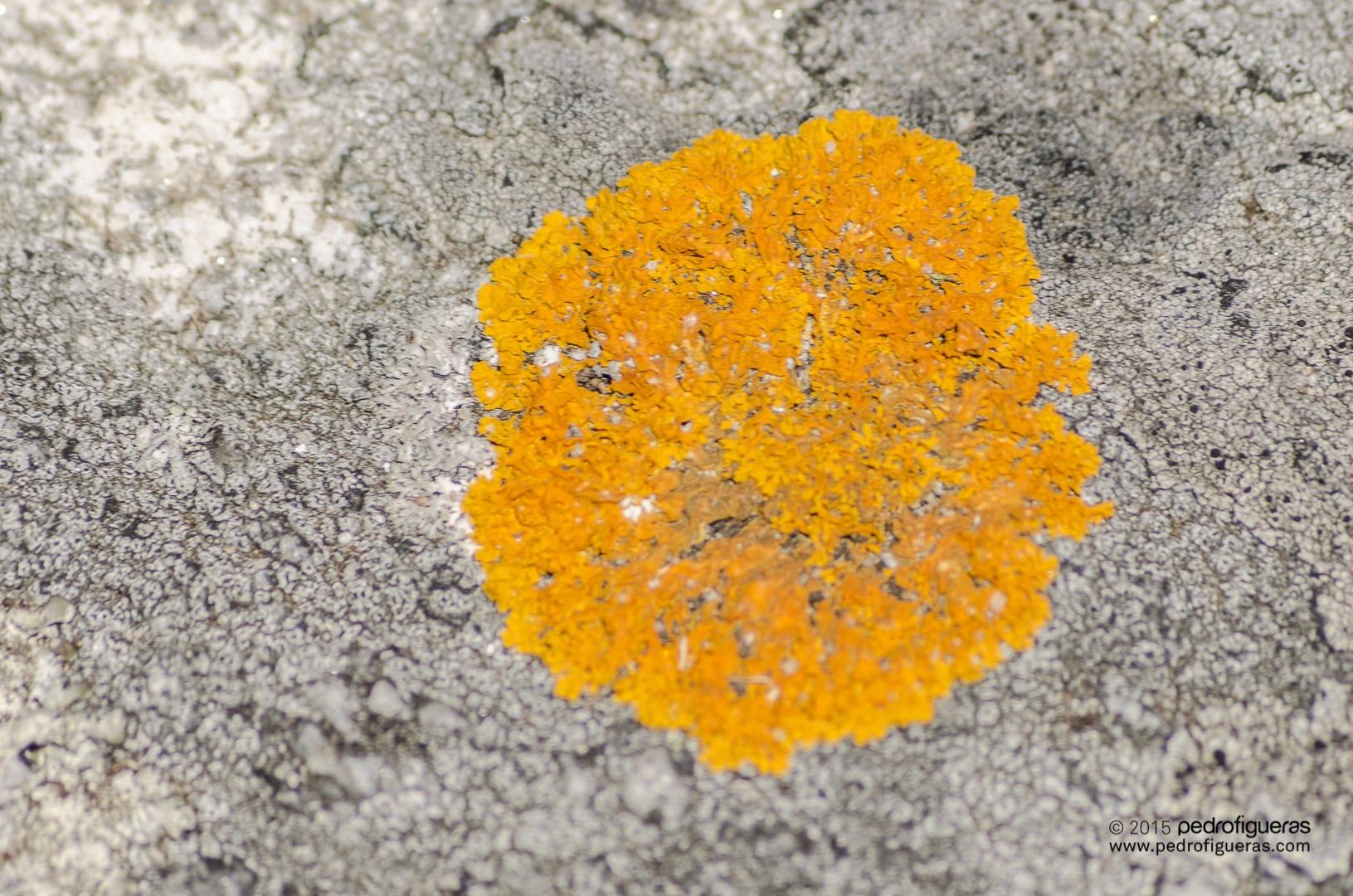A caloplaca mariña colorea as illas Cíes