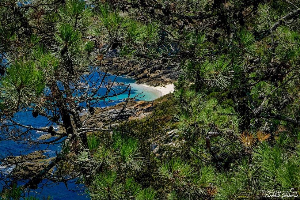 Entre piñeiros a costa da Cantareira nas illas Cíes