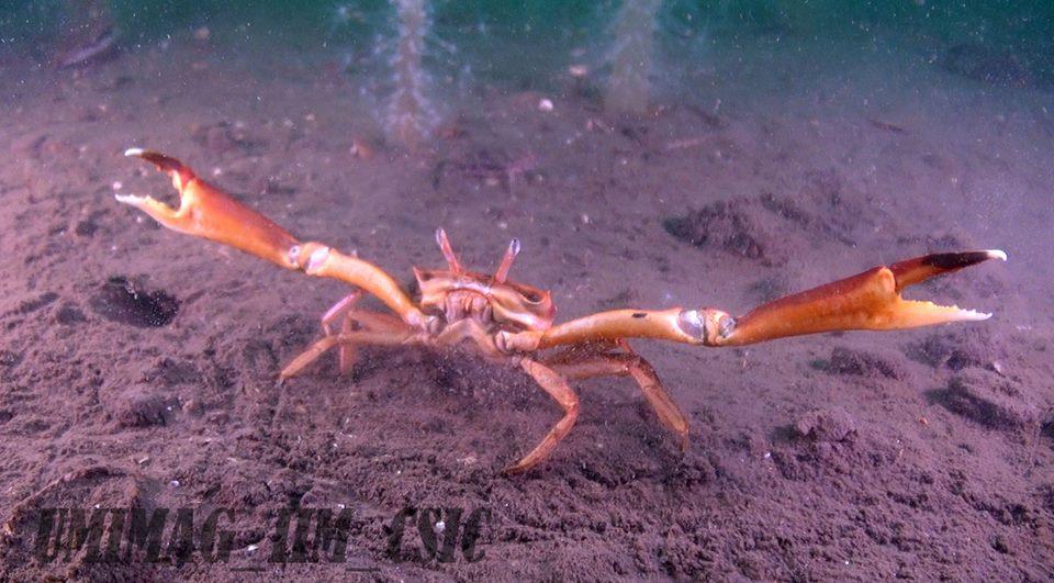 Caranguexo común nos fondos lamacentos da ría de Vigo