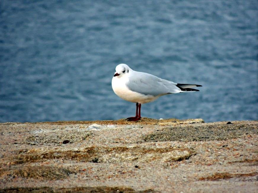 Gaivotas (I). A gaivota chorona por Mar de Aves