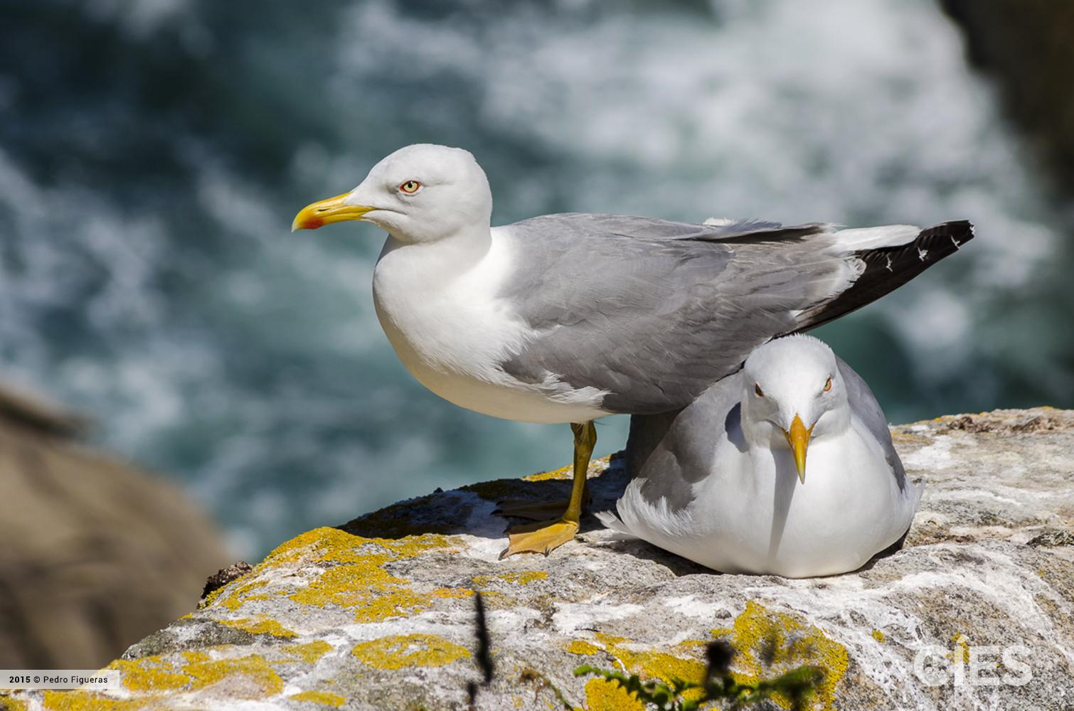 Cópula de parella de gaivota patiamarela