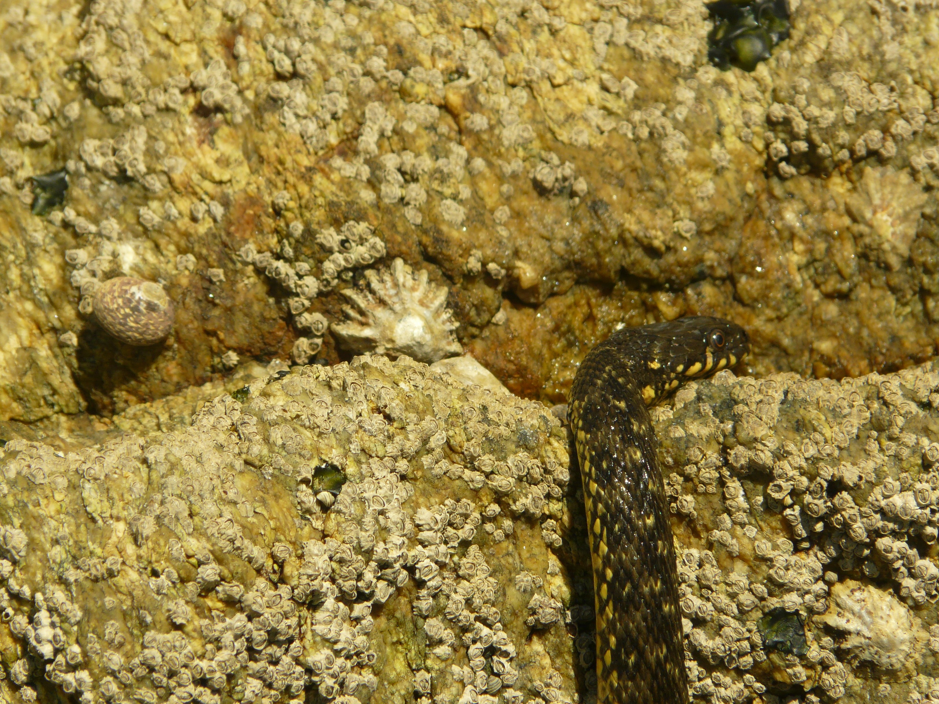 A cobra viperina sofre adaptacións específicas á insularidade nas Illas Atlánticas de Galicia