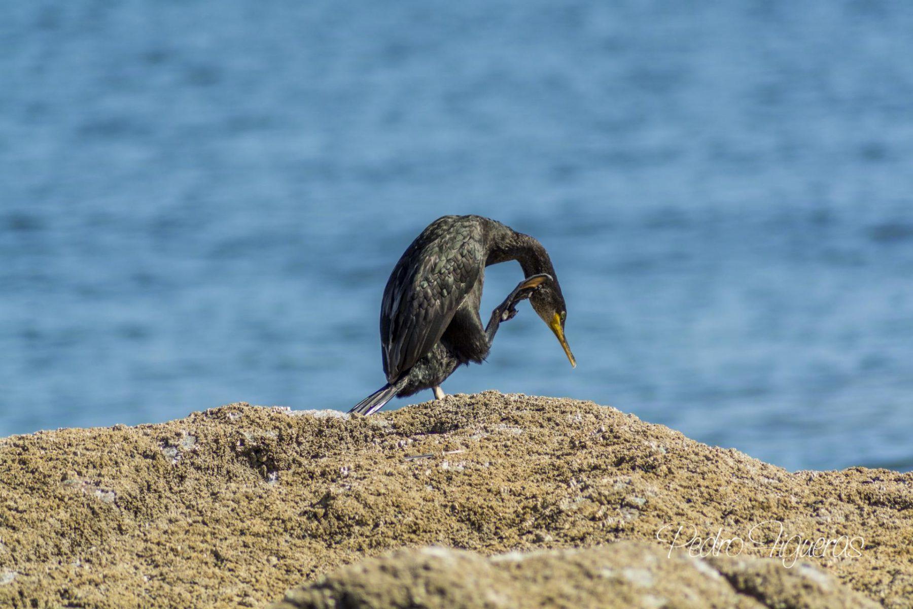 Corvos mariños (I). O corvo mariño cristado por Mar de Aves