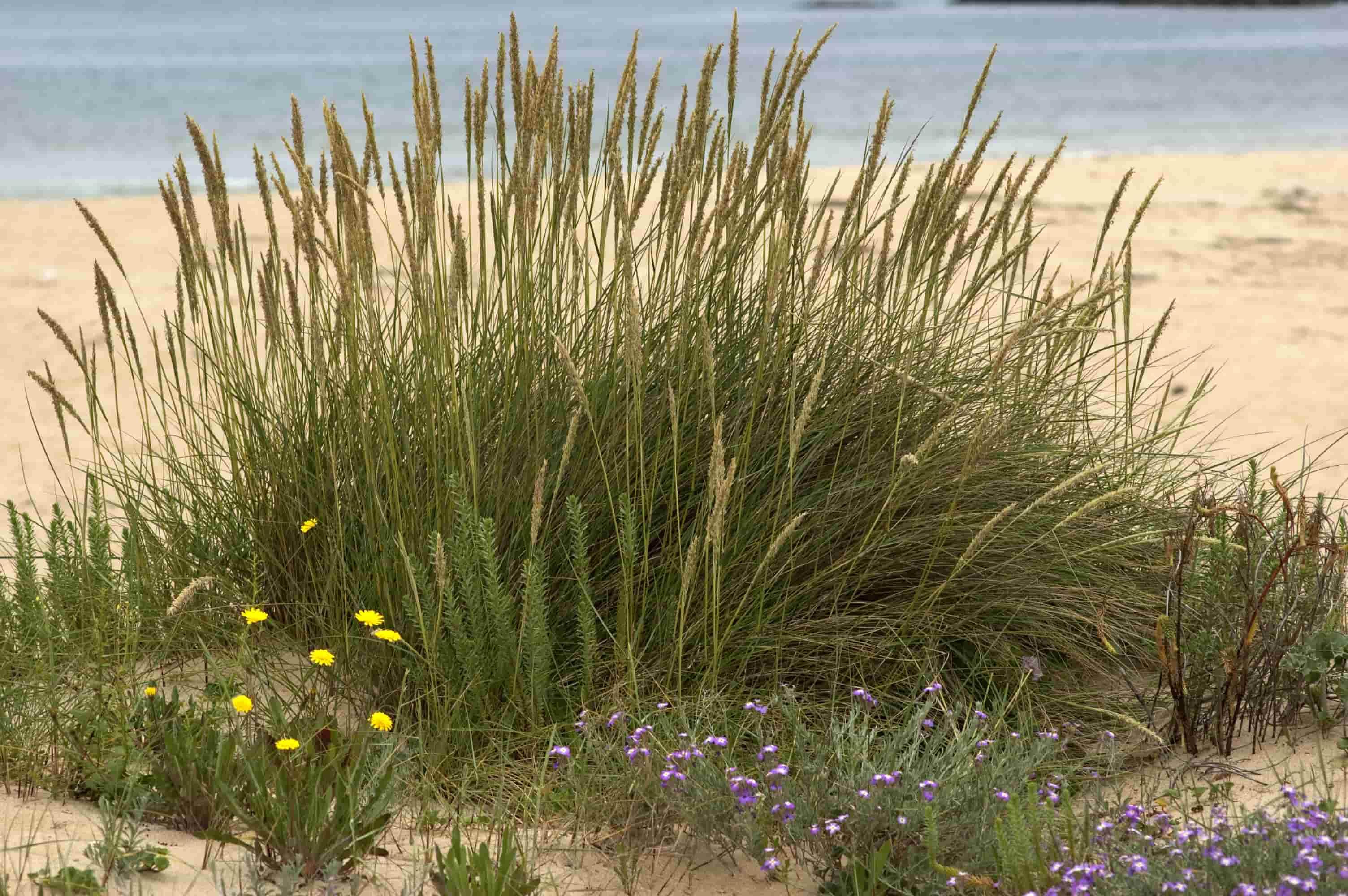Feo de praia no esteiro da Foz. Nigrán