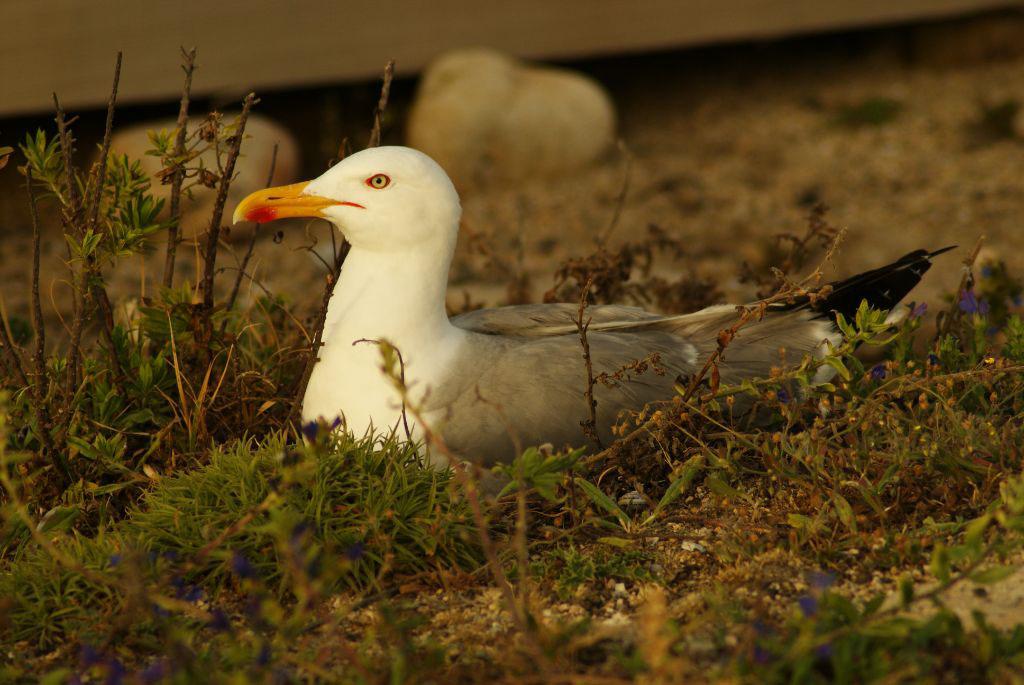 Estratexias de gaivotas expostas a perigos durante a incubación