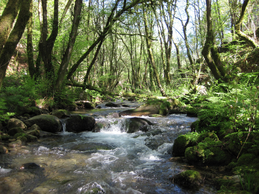 Un estudo demostra que a presenza de eucaliptais a carón dos regatos diminúe a biodiversidade