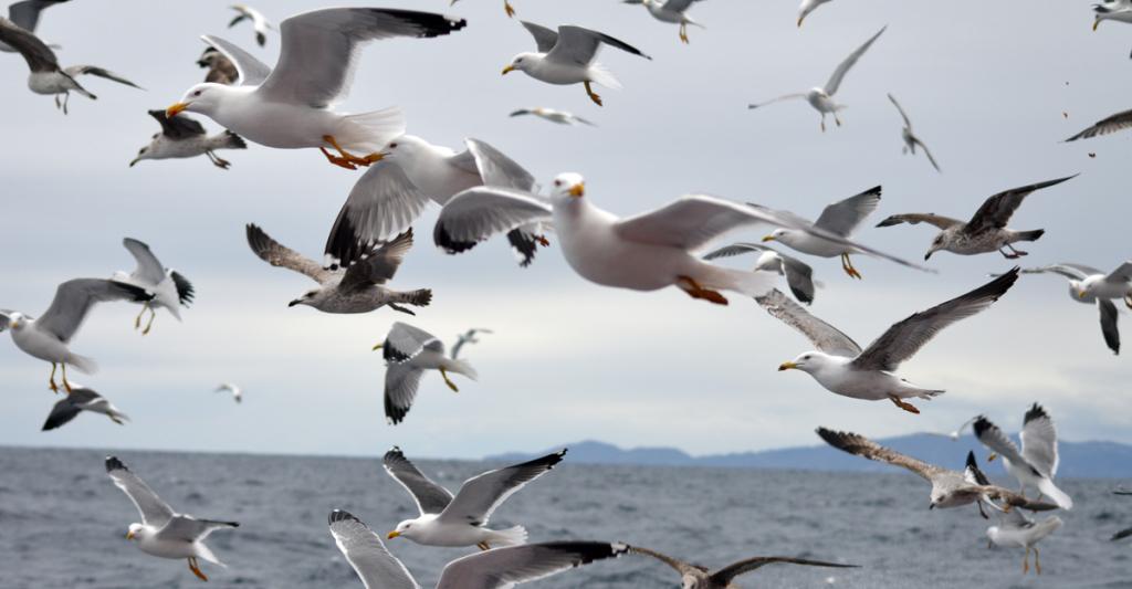 "A curta ""Nos Tellados"" amosa o comportamento de coidado parental da gaivota patiamarela nun ambiente totalmente urbano"