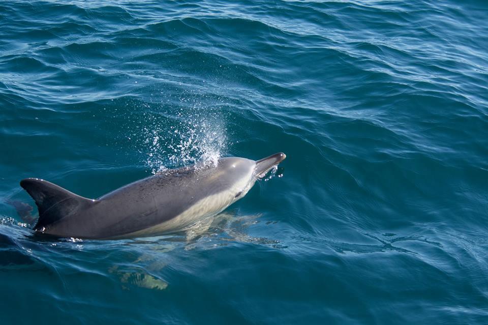 Peláxica dos golfiños navegando no Chasula