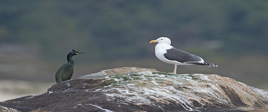 intramar-gaivota-corvo-marino
