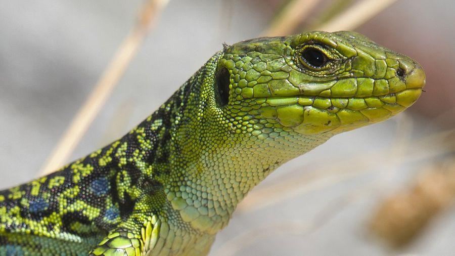 O Parque Nacional conta na illa de Ons cunha senda interpretativa sobre o lagarto arnal