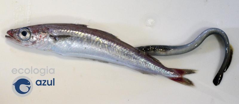 lamprea 3