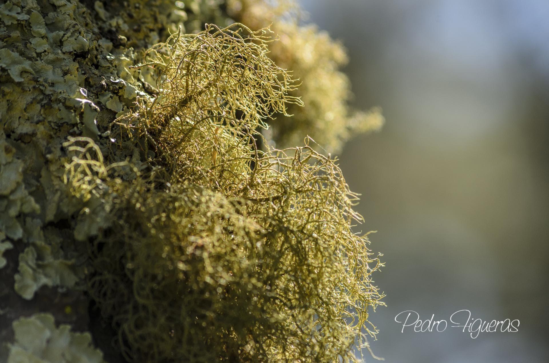 Flora liquénica epífeta das illas Cíes (*)