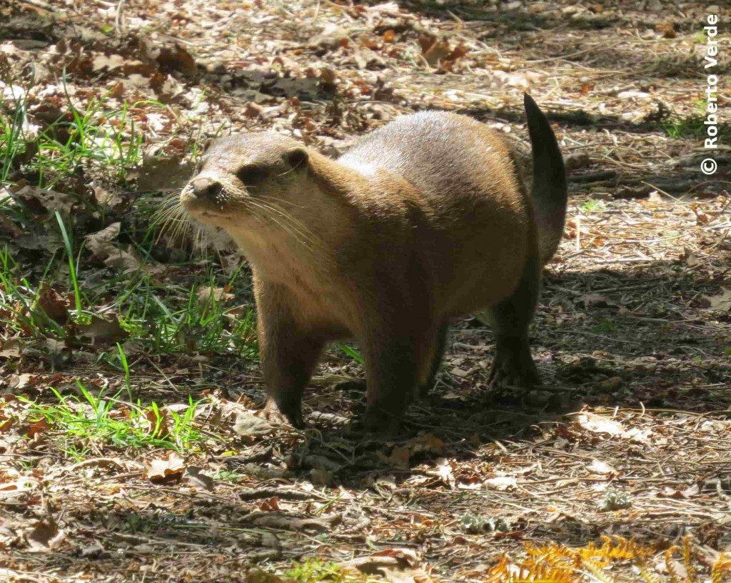 A recuperación da lontra no Parque Nacional das Illas Atlánticas de Galicia
