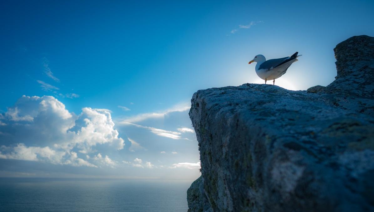 Gaivota patiamarela contemplando o horizonte Atlántico