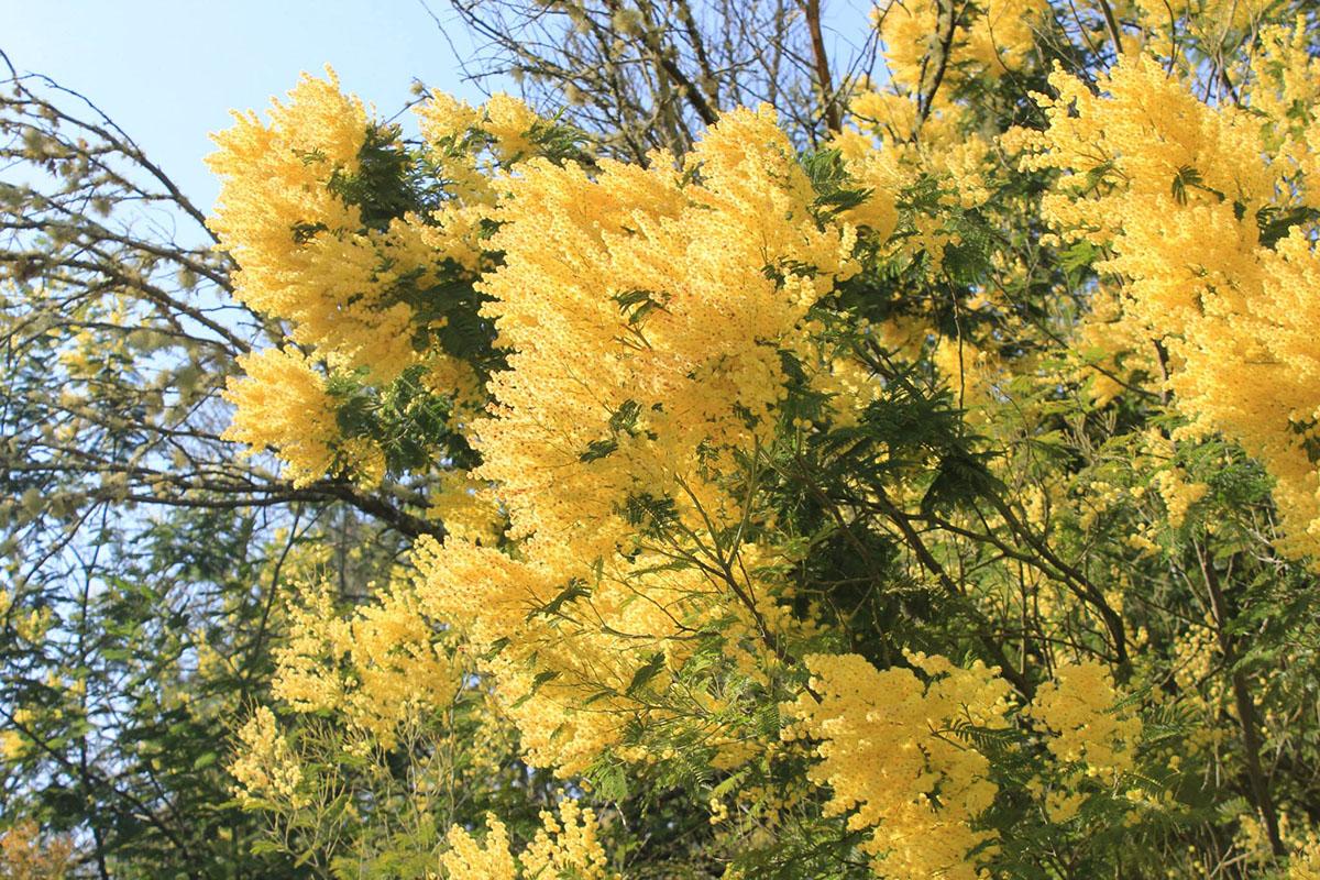 As mimosas invaden comunidades vexetais inalteradas do noroeste da península ibérica