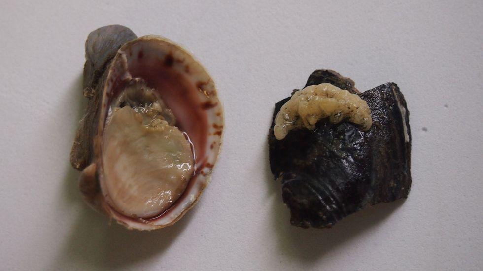 molusco invasor duvi